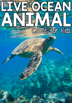 Want to study ocean animals with your children but don't anywhere near the beach? These live ocean animal cams for kids can help! Explore the depths of the ocean and observe the creatures of the sea without ever leaving the comfort of your own home!